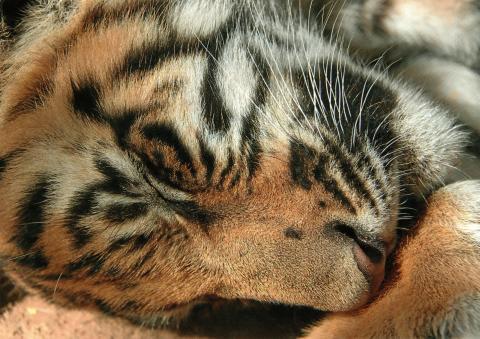 A sleeping tiger.